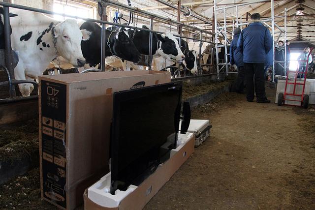 Krave koje zure u LED televizore